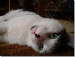 77- gatos blanco o crema (9)- buscoimagenes