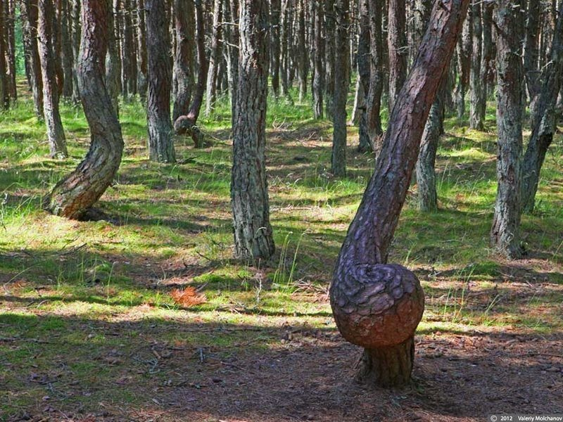 dancing-forest-kaliningrad-2
