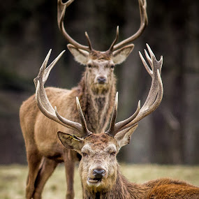 Windsor Stags by Kevin Standage - Animals Other Mammals ( canon, england, windsor, stags, windsor great park, deer )