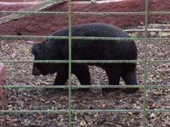 2006.08.28-012 ours de l'Himalaya