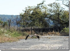 Sue Reno_Black Vultures_Image 1