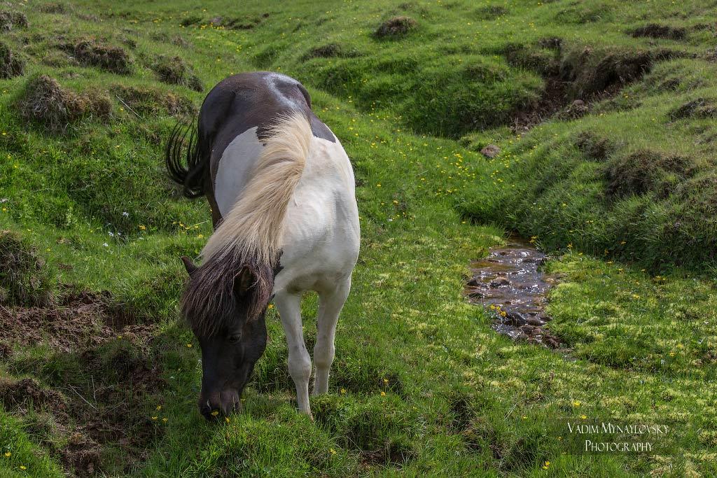 Яркая зеленая трава, маленький ручеек, исландская лошадка - самая пасторальная картина Исландии