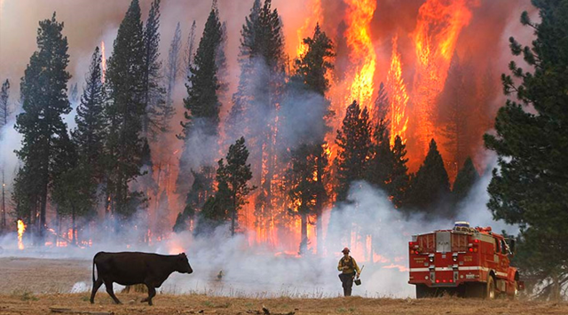 A firefighter and a cow confront a wall of flame during the massive Rim wildfire near Yosemite in 2013. Photo: CNN