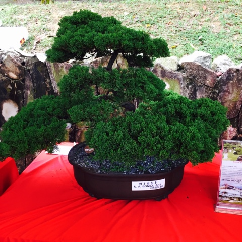 A pot of bonsai which can cost you more than 3k.
