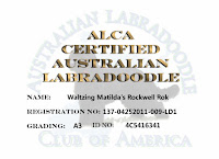 ALCA Certification of Australian Labradoodle Gorgeousdoodles .Rockwell.