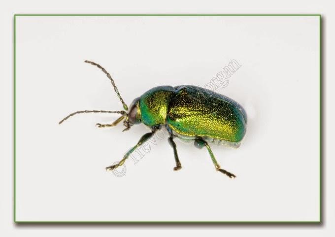 Bug 4 Mint Gr