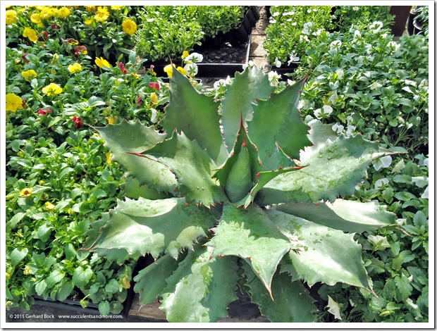 151018_HomeDepot_agaves_005