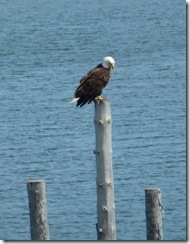 Bald Eagle at Mulholland Point on CI