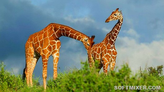 150430101414_kinkier_giraffe_testing_urine_624x351_npl_nocredit