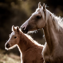 Mare and foal  by Glenys Lilley - Animals Horses ( palomino, mare, horse, light, foal )