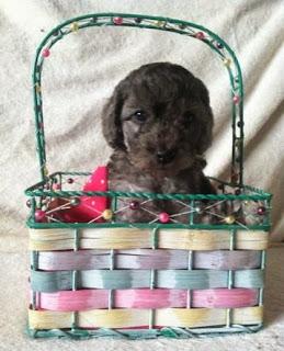 labradoodle puppy / female