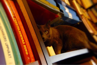 Grå katt tittar fram ur bokhylla. Foto: Reb Dutius
