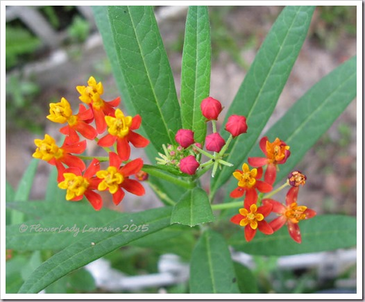 11-06-butterfly-weed