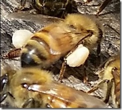 Honey Bee Carrying Pollen