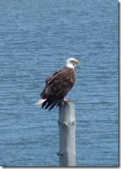 Bald Eagle at Mulholland Point