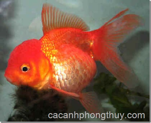 ca-vang-gold-fish-ranchu,chinese,japanese,white,reb,black (32)