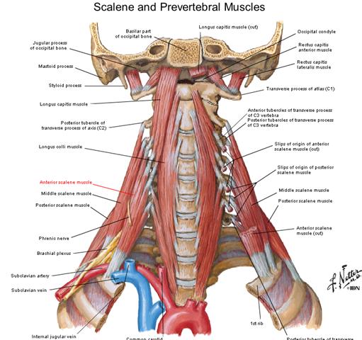 Scalenus Anterior Muscles