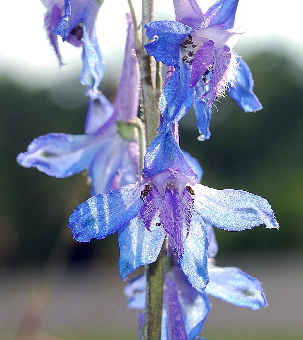 of the genus Delphinium,