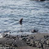 Lobo marinho - Tintoreras - Isabela - Galápagos, Equador