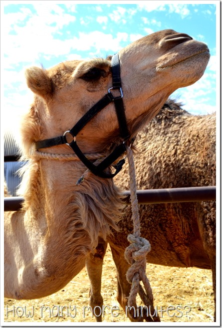 The Camel Farm at Yulara | How Many More Minutes?