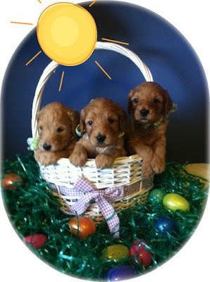 Gorgeousdoodle Spring Labradoodle Puppies