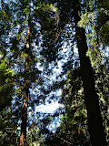 Sky Through The Redwoods, Muir Woods, California