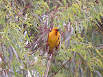 Cape weaver (photo by Clare)