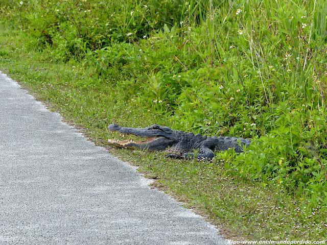 cocodrilo-saliendo-camino.JPG