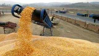 Production céréalière : 43 millions de quintaux attendus