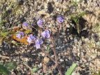 Cleftleaf Wildheliotrope 3/25