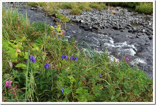 150908_Adak_FingerBay_top_of_creek_flowers1_WM