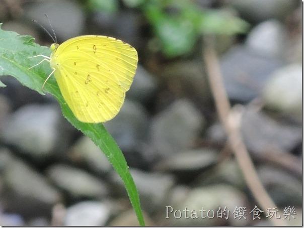 菁寮國小的蝴蝶園-黃粉蝶