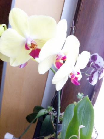 Orchidée famiflora