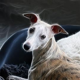 Whippet by Marius Birkeland - Digital Art Animals ( dogs, digital art, dog, animal, whippet )