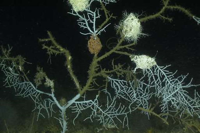 This 26 September 2011 photo taken by Florida State University oceanographer Ian McDonald via an unmanned submersible vehicle, at a depth of 68 meters at the Alabama Alps Reef, offshore of Mississippi and Louisiana, 35 miles from the site of the Deepwater Horizon rig explosion and oil spill, shows Hypnogorgia pendula coral with injuries attributed to the oil spill. Photo: Ian MacDonald / Florida State University