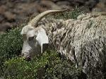 Angora goat (photo by Clare)