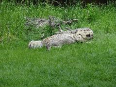 201506.21-039 hyènes tachetées