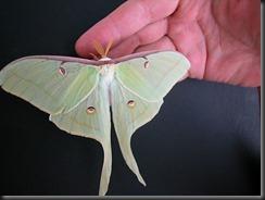 luna_moth...In Iowa!