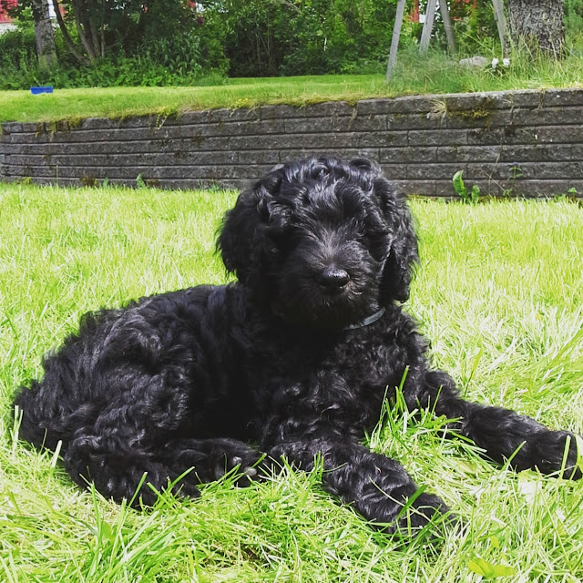 A 9 weeks old Australian Labradoodle puppy