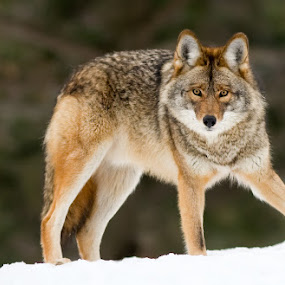 COYOTE by Rachel Bilodeau - Animals Other Mammals