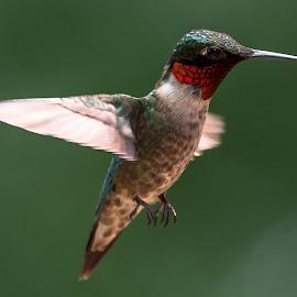 Ruby-throat,hummingbird,red by Mike Watts - Animals Birds
