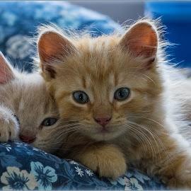 Best Friends by Jan Arvid Solem - Animals - Cats Kittens ( cats, pillow, animals, cozy, kitten, sweet, blue, pets, lovely, friend, cutest )