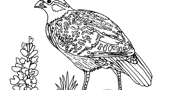 Geography Blog Masked Bobwhite Coloring Page