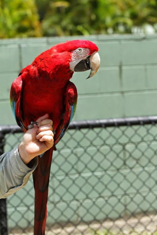 Scarlet Macaw at Australia Zoo, Sunshine Coast
