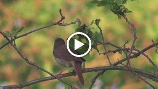 De Nachtegaal zingt zijn lied ,s morgensvroeg in een eikenboom (door slecht licht en afstand niet echt scherp)