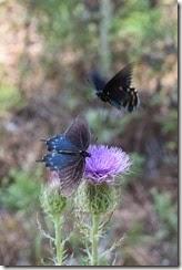 Butterflies on Thistle 1