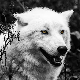 White Wolf by Paul Drajem - Black & White Animals ( canine, animals, dogs, nature, wolf, white, nature up close, forest, black-and-white,  )
