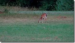 deer at Little Beaver St.Pk 003
