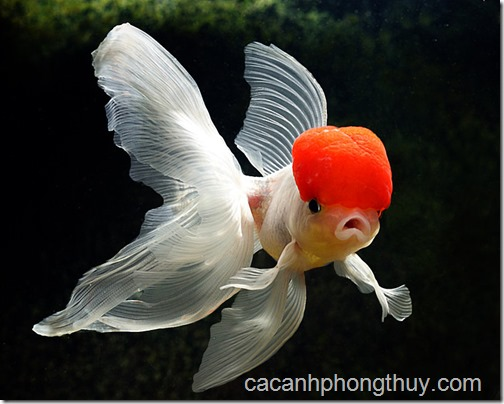 my_goldfish_2_by_woz1
