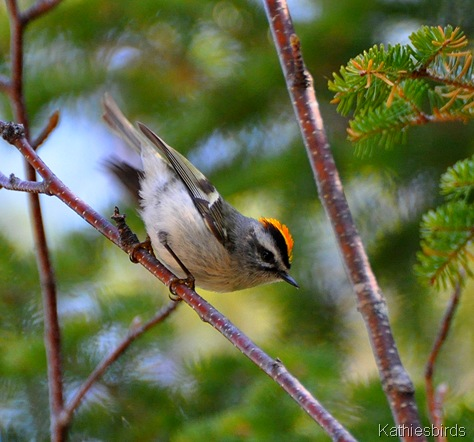 1. Golden crowned Kinglet-kab